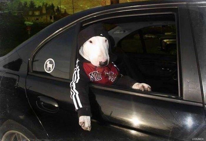 Thug life Bull Terrier