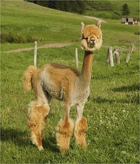 Shaved alpacas...always good for a smile.