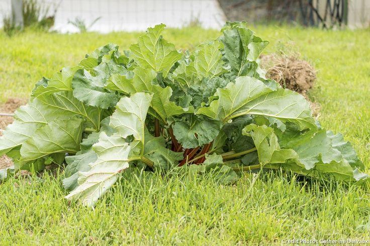 Désherber, apporter du compost, voire diviser les pieds de rhubarbe, tous les bons gestes de printemps pour des belles récoltes de rhubarbe.
