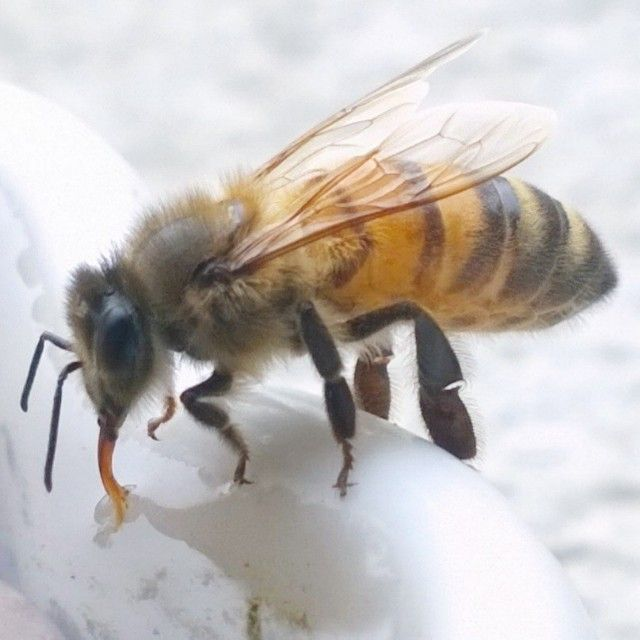 {A LITTLE ABOUT ME} As well as handcrafting #jewellery I also keep #beehives. This is a photo I took of one of my #bees drinking water from a #water pool I made out of a pie dish. Yes they drink water, check out her #proboscis (#tongue). Bees are so #incredible! Did you know that bees communicate with one another by dancing AND it is the only #insect that produces food eaten by humans? Yummy #honey! They are definitely a key #inspiration to my next collection! #Marzrian