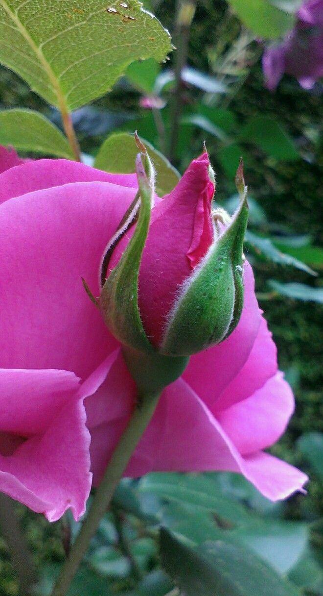 Pin De Miray Maria Em Flowers Is My World Bela Rosa Belas Flores Rosas