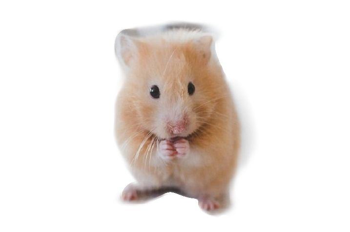 Darf man Hamster wecken? Hamster sollten nur in dringlichen Situationen geweckt werden, sie sind Dämmerungs/Nachtaktive Tiere und verspüren einen großen Stress, wenn sie einfach aus ihrem Schlaf gerissen werden. Einige Hamster können dann auch sehr unbequem, bissig und lautstark werden um dir zu zeigen, was sie persönlich davon halten. Aus diesem Grund sollte ein Hamster …