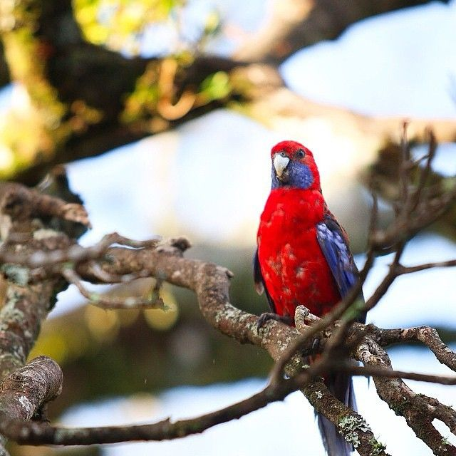 A chirpy good morning to you mates! Love this photo by @mabrisbane of a Rosella at @oreillysrainforestretreat #visitgoldcoast #thisisqueensland