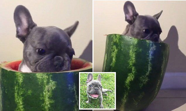 Adorable Video Of French Bulldog Pup Sat Inside A Watermelon