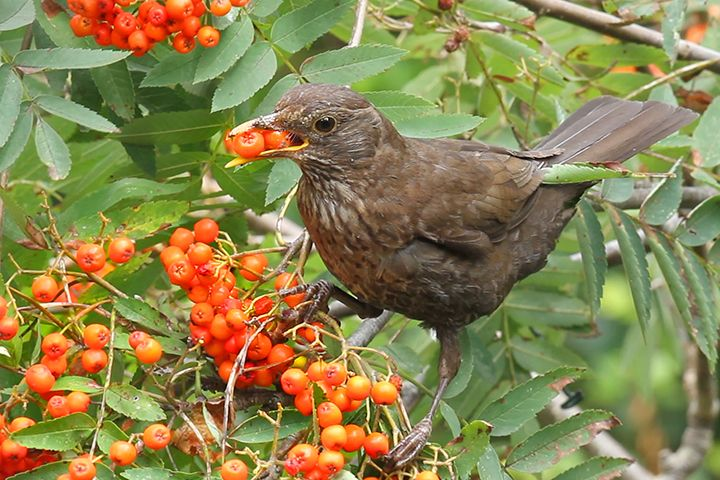 Female Blackbird eating Rowan berries in the back garden.