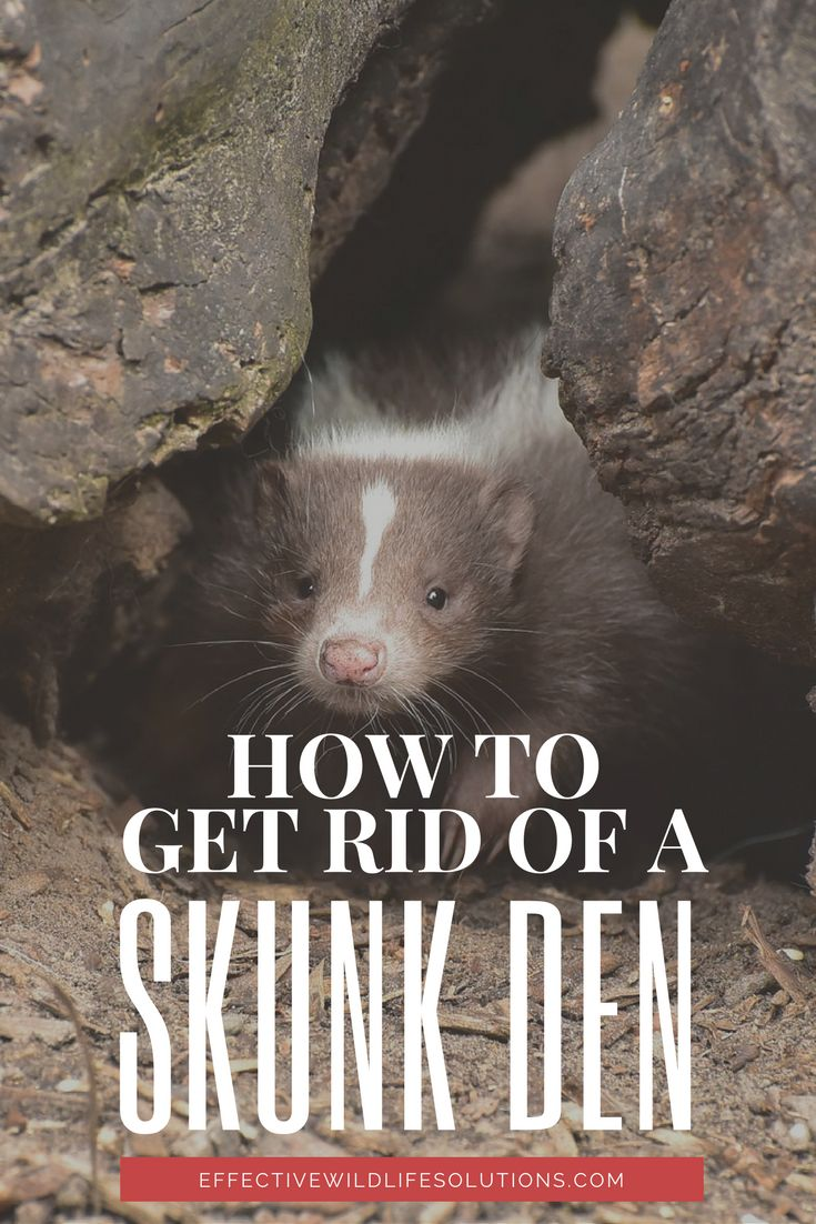 best 25 skunk repellent ideas on pinterest