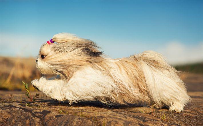 Download wallpapers Shih Tzu, fluffy dog, flight, cute dog, 4k