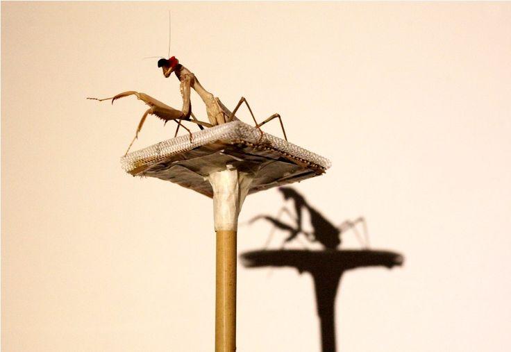#La mantis religiosa ve en tercera dimensión pero no como los humanos - El Nuevo Diario: El Nuevo Diario La mantis religiosa ve en tercera…