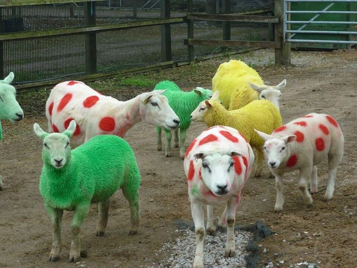 Yorkshire sheep get the Tour de France treatment. From Gary Verity's Twitter stream.