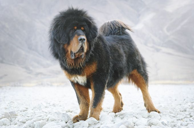 Tibetan Mastiff Dog Pictures