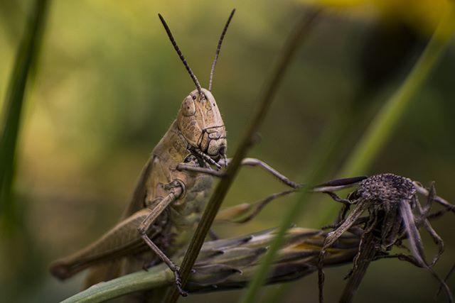 Den Sommer genießen und fotografieren.  Enjoy the Summer!  #fotografie #photography #macro #nature #natur #Grashüpfer #cicada #grasshopper #insect #insekt #Gras #schnell #Sommer #summer #summerfeelings