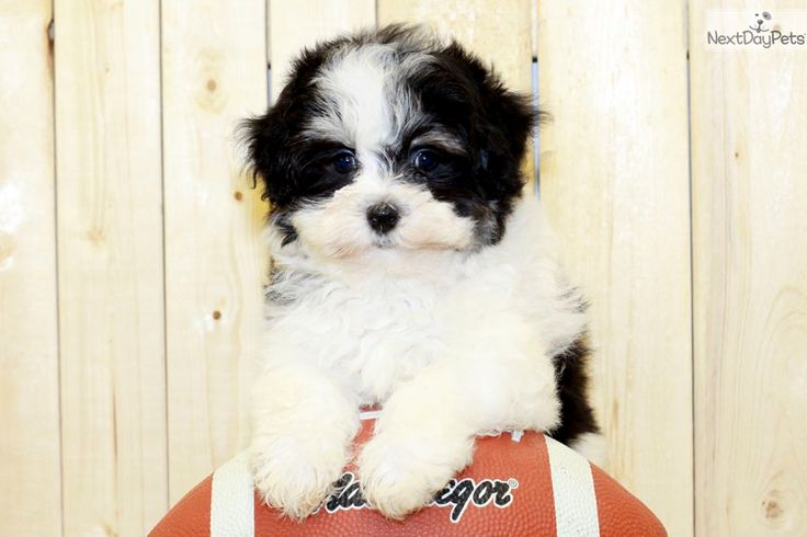 Havanese puppy for sale near Columbus, Ohio eac77fe8
