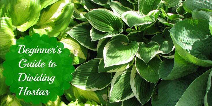 Beginners Guide to Dividing Hostas - Tales of a Ranting Ginger
