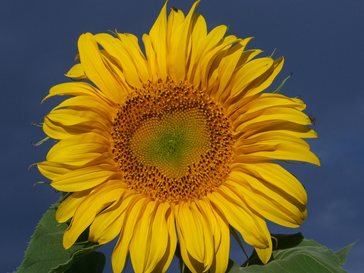 A huge sunflower grew in our backyard in Eagle Colorado!