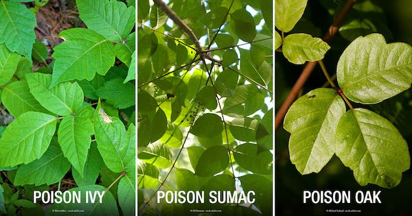 Learn the symptoms of poison ivy, poison oak and poison sumac and how to treat and prevent these rashes.