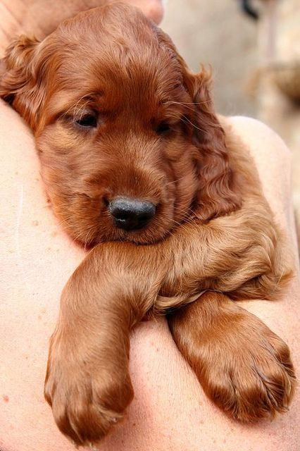 Irish setter puppies bred by Henry's breeder - we took him back there today so he could meet his mother again and we could meet these cute little red puppies.     ...for training DVD's... http://www.trainingdogsvideos.com/