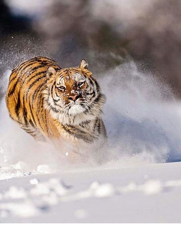 "8,547 Likes, 20 Comments - Animals - Wildlife (@wildlifeowners) on Instagram: ""Amur Tiger  Photo by @suhaderbent"""