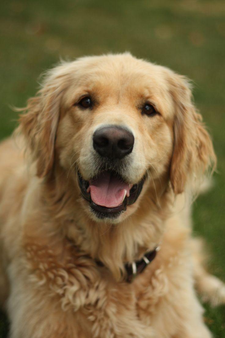 89 best golden retrievers images on pinterest cutest dogs golden smile nvjuhfo Choice Image