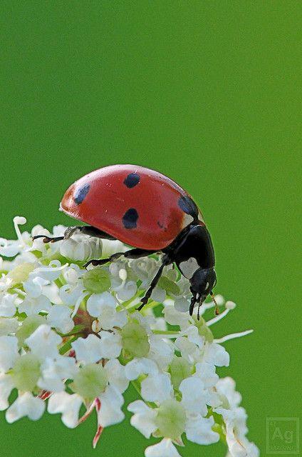 719 best Ladybugs! images on Pinterest | Ladybugs ...