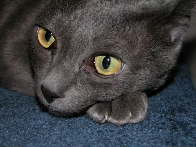 Korat Cat-he Korat cat is amongst the most engaging and intelligent of all cat breeds. A Korat has a sense of its own place in the world. It will often adopt one person whom it bonds with great strength. I have been fortunate to be such a person