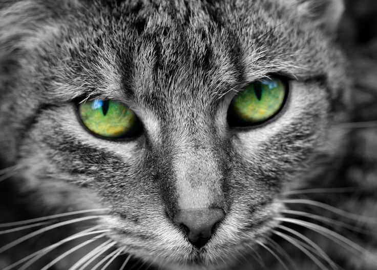 Adorable cat glance with fascinating green eyes. #animal #pet #adorable #cat #eyes #head #eyes #pupils #green #puss #face #hair #pet #mustache #nose #fur #fine #nice #black #white #ilovemycat #kitty