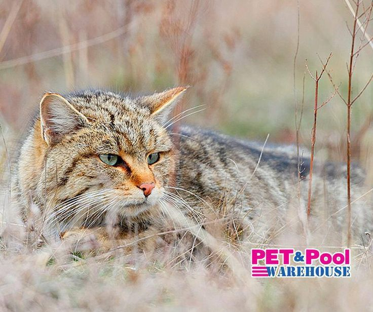 """#ThrowbackThursday: Apparently all domestic cats descended from a Middle Eastern wildcat - Felis sylvestris, which literally means """"cat of the woods."""" Cats were first domesticated in the Near East and it is alleged that the process began up to 12,000 years ago. Source: Smitsonian.com #PetPoolWarehouse"""