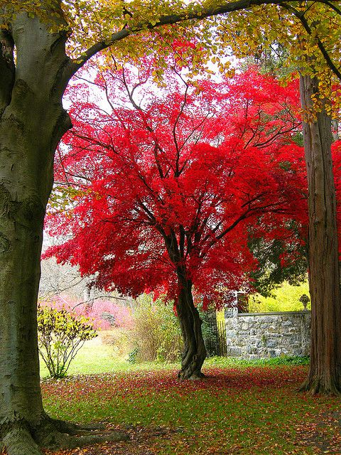 ~~My Favorite Japanese Maple by Stanley Zimny~~