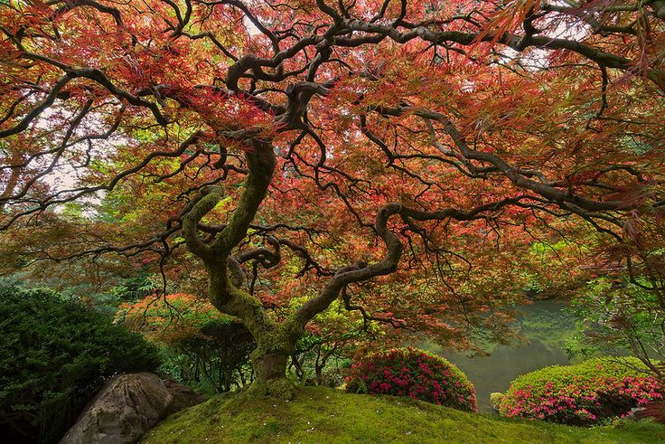 JAPANESE MAPLE Portland, Oregon  Photo by Scott Mccracken