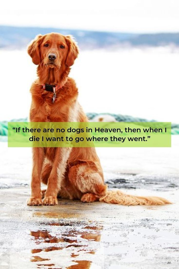Golden Retriever Puppy Goldenretrieverdaily