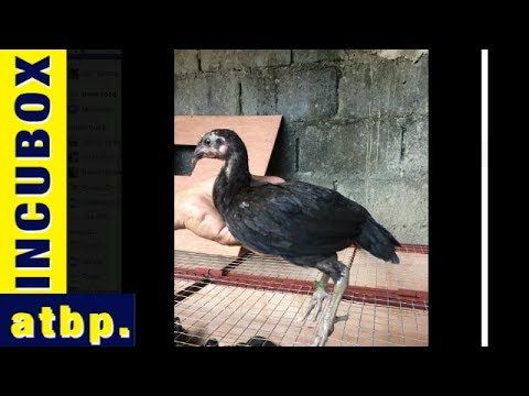 Peruvian Gamefowl Chicks for sale Philippines: RAGAMAK EDS Gamefarm Sta ...