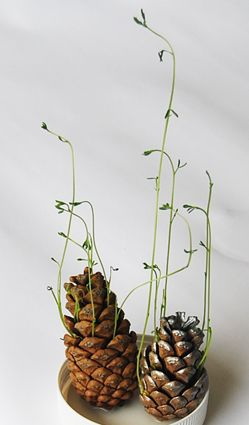 Start beans in pine cones for a super cool decoration. Note: site is French. Copy link and paste into Google Translate.