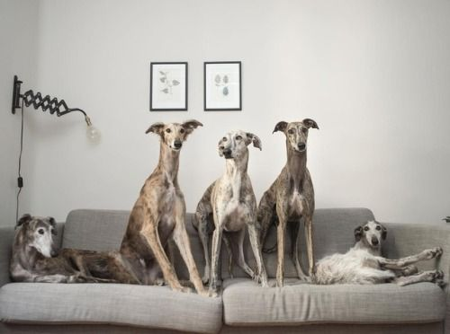 Meet Bacalao a Lovable Spanish Greyhound  Discover more stories...
