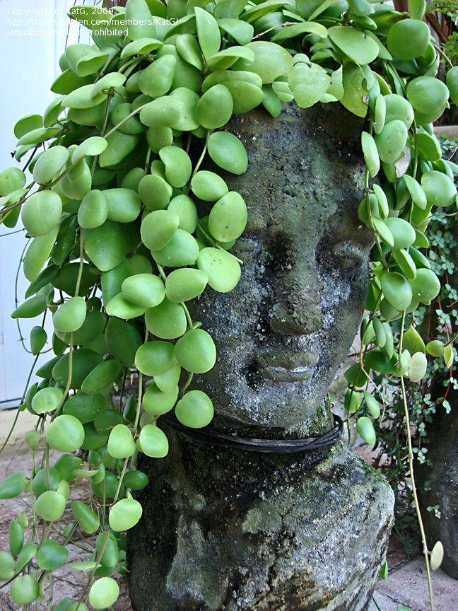 hoya plant   ... size picture of Hoya, Wax Plant, Porcelain Flower ( Hoya brevialata