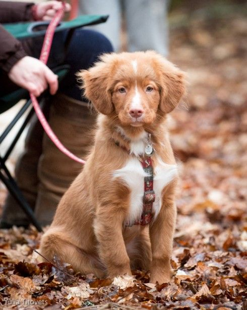 Nova Scotia Duck Tolling Retriever Archives - Page 13 of 71 - Four Little Paws