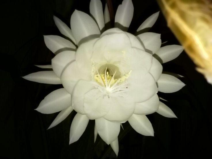 Flor de la noche