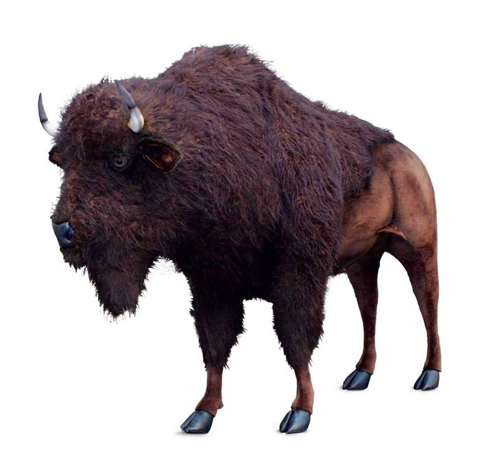 Life Sized Young Bison Commonly Known As The American