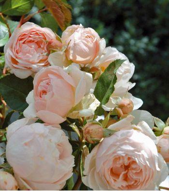 Rosa x Générosa® Chantal Thomass®