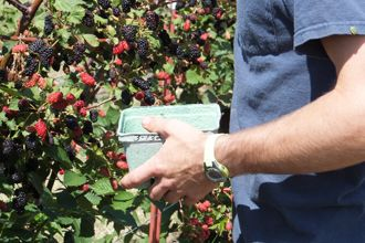 ブラックベリーの育て方/ブラックベリー苗木販売の大関ナーセリー