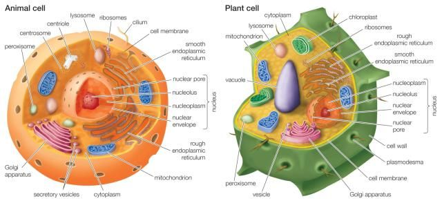 15 Differences Between Animal and Plant Cells: Animal Cells vs Plant Cells