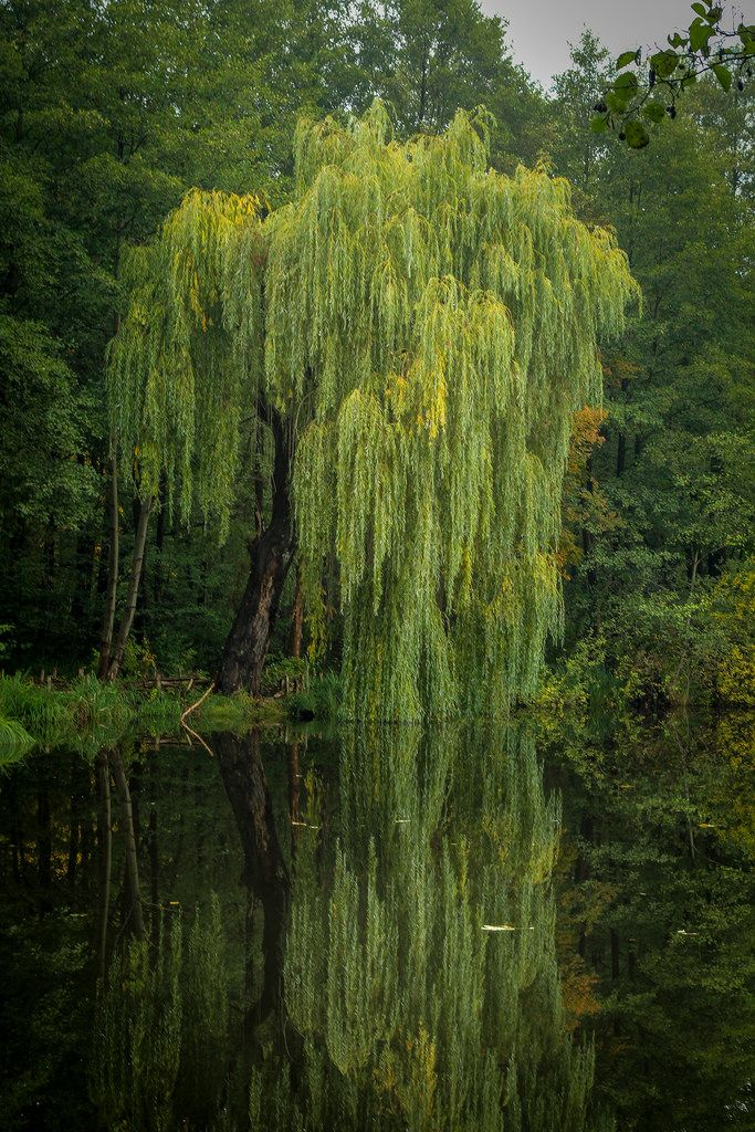Trauerweide / Weeping Willow