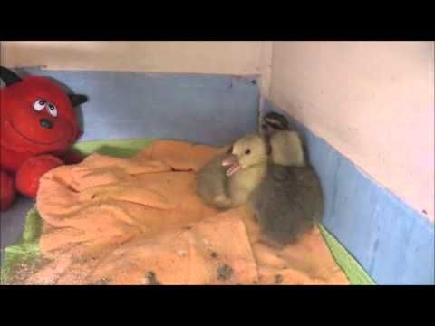 A short video of the cute goslings and duckling that went to foster yesterday
