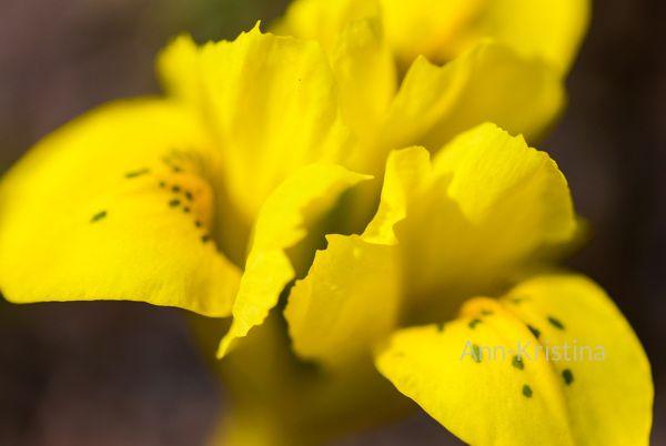 Ann-Kristina Al-Zalimi, Iris danfordiae, iris, dwarf iris, danford iris, jääkurjenmiekka