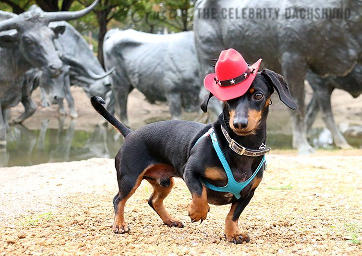 Dachshund x for sale manchester