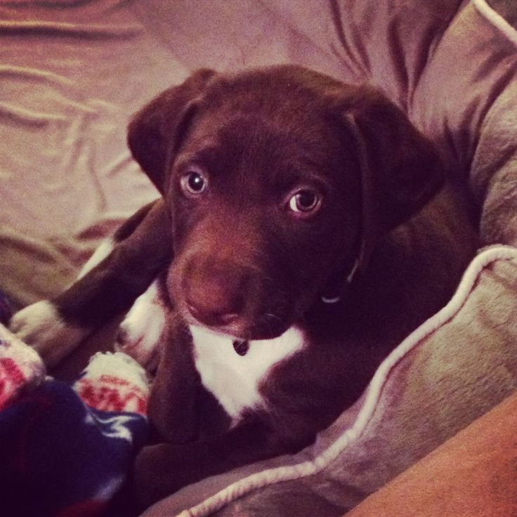 Chocolate Lab X German Shorthaired Pointer Pets German