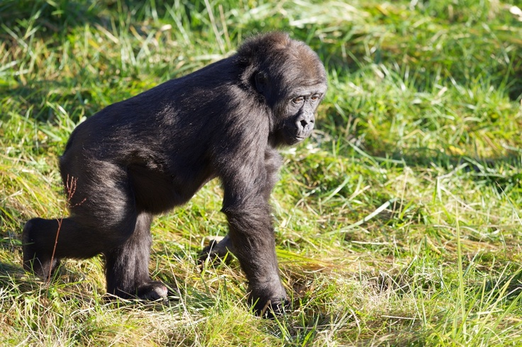Kafi has settled in very well with our family of lowland gorillas and has even created a friendship with silver back Harry!