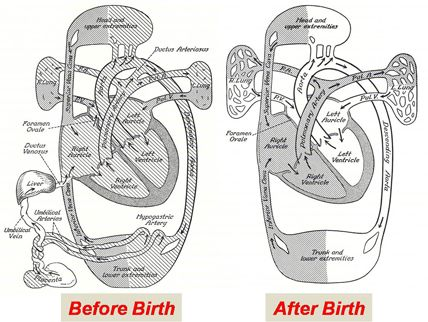 16 best images about fetal growth & development on Pinterest