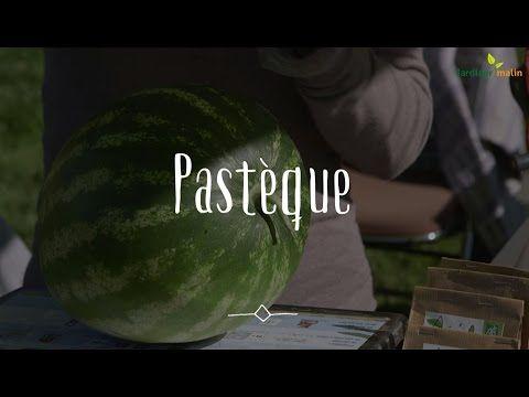 Pastèque : semis, culture et récolte des pastèques