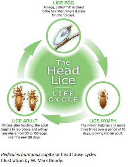 The Head Lice life cycle -www.licewarriors.com