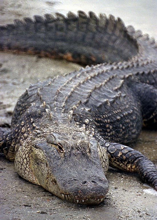 alligator | Alligator - Page 2