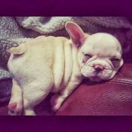5 French Bulldog puppies you must see :)  i'm in love with the frenchies
